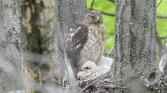 Cooper's hawk in nest Stock Footage