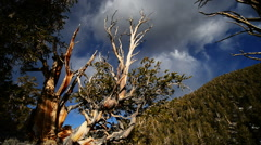 Bristlecone Pine and Clouds Dolly 01 Time Lapse - stock footage