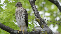 A juvenile cooper's hawk perched on branch Stock Footage