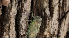 Cicada crawling on tree Stock Footage