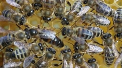 Queen bee surrounded by workers bees servant Stock Footage