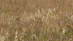 Detail of brown wild grass in meadow in British Columbia, Canada. Stock Footage