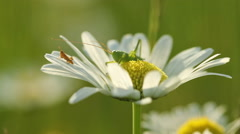 Grasshopper on a daisy flower Stock Footage