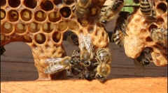 Helping Queen Bee as it exits cocoon. Perhaps it is only in the video world. Stock Footage