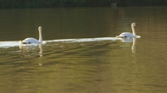 Swans Swimming Away Stock Footage