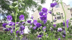 Beautiful violet flowers in the  garden, HD footage Stock Footage