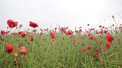 Red poppies meadow in the wind, HD footage Stock Footage
