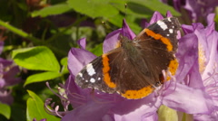 Red Admiral Butterfly Flying Off of Pink Flower Stock Footage