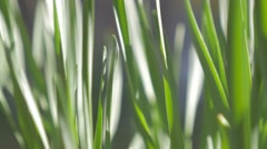 Green grass on the wind backlight low motion HD 1920X1080 footage - Grass slo Stock Footage