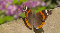 Aerial-View of Red Admiral Butterfly Resting Stock Footage