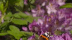 Red Admiral Butterfly Settled on Pink Flower Stock Footage