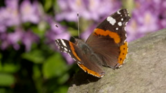 Red Admiral Butterfly Resting with Wings Flapping 2 - stock footage