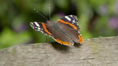 Stock Video Footage of Side-View of Red Admiral Butterfly Resting