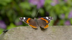 Rear-View of Red Admiral Butterfly Resting Stock Footage