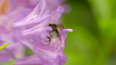 Left Side-View of Bumble Bee Harvesting Nectar from Two Pink Flowers - stock footage