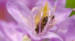 Honey Bee Collecting Nectar from Middle of Pink Flower - stock footage