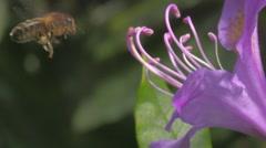Stock Video Footage of Honey Bee Flying in to Pink Flower Stamen