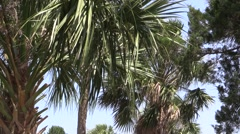 Palm Trees, Windy, Blue Sky Stock Footage