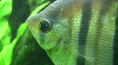 Angel fish extreme close up Stock Footage
