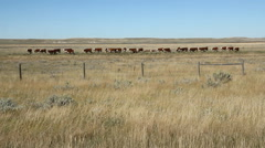 Prairie cows in Alberta, Canada. Wide shot. Stock Footage