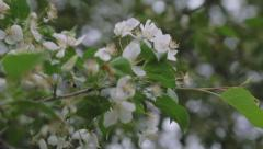 Apple blossom on branch, spring, cloudy day - stock footage