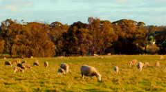 Flock Of Sheep Grazing In A Paddock In The Late Afternoon - stock footage