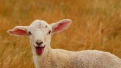 Newborn Lamb Looking At Camera Bleating Stock Footage