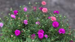 Close up Pink Common portulaca flowers Stock Footage