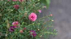 Close up Common Purslane Flower Stock Footage