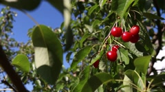 Cherry tree with ripe cherries in the garden Stock Footage