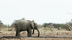 Herd of African elephants on waterhole Stock Footage