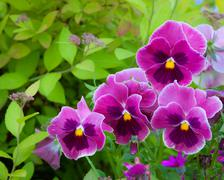 Group of pansy in the garden - stock photo