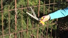 Closeup gardener hands cut fir tree hedge with red secateurs. 4K Stock Footage