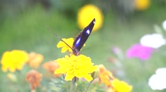 Closeup view of butterfly perched on yellow flower in garden Stock Footage