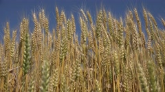 4k Wheat Field in Breeze, Cereals Crop, Agriculture Land, Clouds View, Landscape Stock Footage