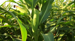 Corncobs plants in agricultural field Stock Footage