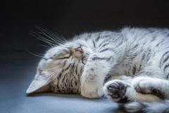 Black silver tabby kitten lying lazy - stock photo