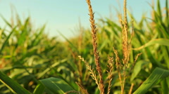 Green corn plants in agricultural field - stock footage