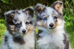 Portrait of two young sheltie dogs - stock photo