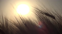 Stock Video Footage of 4K Wheat Harvest in Sunset Ray Field Ear Cereals Crop Grains Agriculture Farming