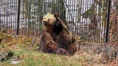 4K footage of a Brown Bear Sitting (Ursus arctos) Stock Footage