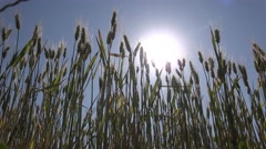 4k Wheat Field Sun Rays Beam Ears Cereals, Agriculture Land Crop View, Landscape - stock footage