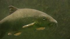 Barbel Fish medium shot Stock Footage