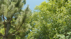 Looking up-wind blowing in pine tree and cottonwood tree - stock footage