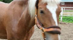 Budenny breed horses. Face closeup. White mane, roan color. Stock Footage