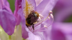 Bumble Bee Harvesting Nectar from Pink Flower and Crawling Away - stock footage