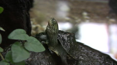 Chinese stripe necked turtle Stock Footage