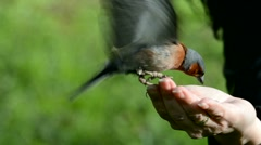 Wild birds chaffinch eating sunflower seeds from hand. Stock Footage