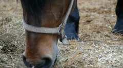 Russian Trotter eating hay in the paddock Stock Footage