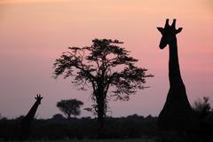 Stock Photo of Giraffe at dusk in the Savuti area of Botswana